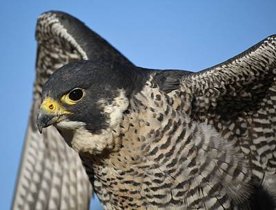Peregrine Falcon Up Close Art Print by Paulette Thomas