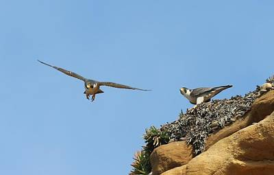 Photograph - Peregrine Falcons - 1 by Christy Pooschke