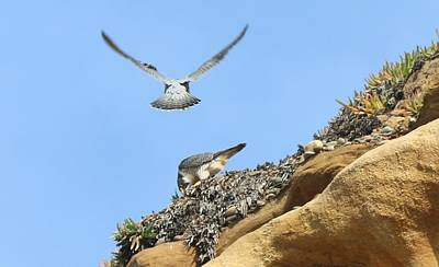 Photograph - Peregrine Falcons - 2 by Christy Pooschke
