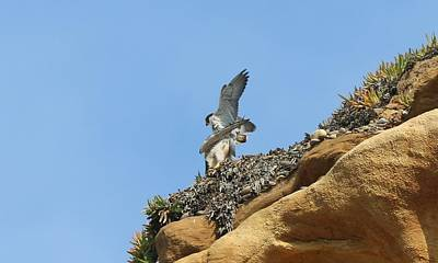 Photograph - Peregrine Falcons - 3 by Christy Pooschke