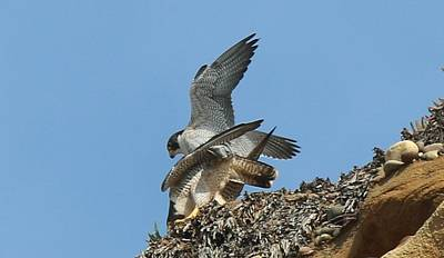 Water Droplets Sharon Johnstone - Peregrine Falcons - 4 by Christy Pooschke