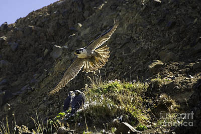 Tim Moore Photograph - Peregrine Flight Training by Tim Moore