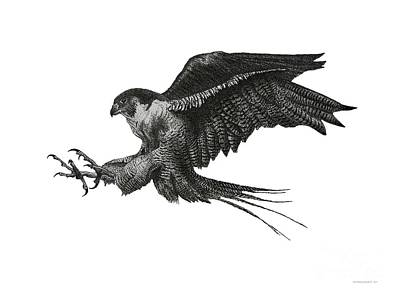 Peregrine Hawk Or Falcon Black And White With Pen And Ink Drawing Art Print by Mario Perez