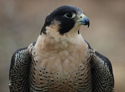 Photograph - Peregrine Profile by Richard Bryce and Family