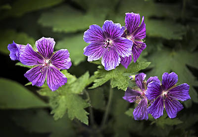 Beauty Photograph - Perennial Geraniums by Marcia Colelli