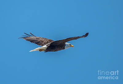 Photograph - Perfect Bald Eagle by Cheryl Baxter
