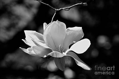 Photograph - Perfect Bloom Magnolia In White by Frank J Casella