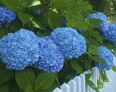 Photograph - Perfect Blue Hydrangeas  by Amazing Jules