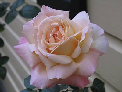 Perfect Blushing October Rose Art Print