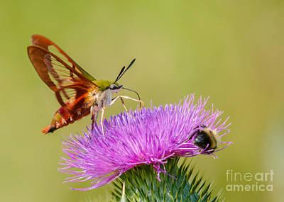 Photograph - Perfect Hummingbird Moth by Cheryl Baxter
