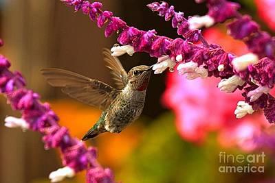 Photograph - Perfect Hummingbird Shot by Adam Jewell