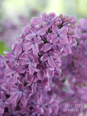 Violet Bloom Photograph - Perfect Lilac by Jasna Buncic