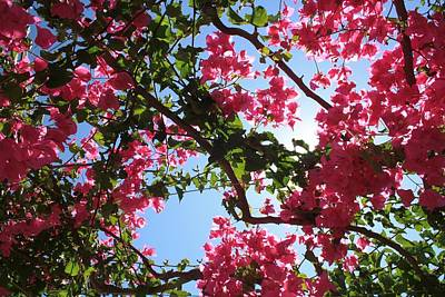 Photograph - Perfect Pink Bougainvillea In Blossom by Tracey Harrington-Simpson