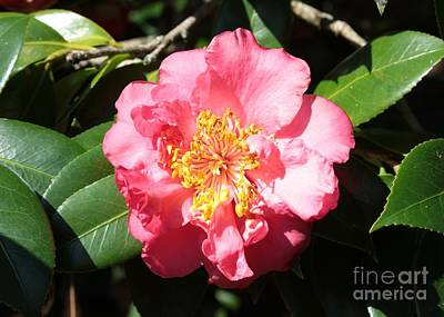 Perfect Pink Camellia Art Print by Carol Groenen