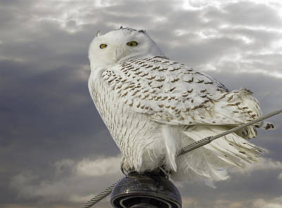 Telephone Poles Photograph - Perfect Pose Of The Snowy Owl by Thomas Young
