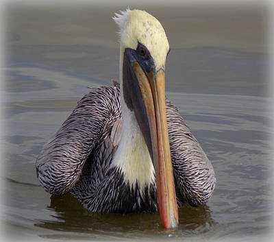 Photograph - Perfect Pose Pelican 1 by Sheri McLeroy