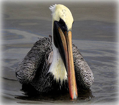 Photograph - Perfect Pose Pelican 2 by Sheri McLeroy