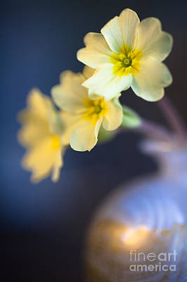 Perfect Primrose Print by Jan Bickerton