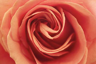 Photograph - Perfect Rose by Amazing Jules