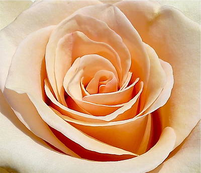 Photograph - Perfect Rose Close Up by Denise Mazzocco