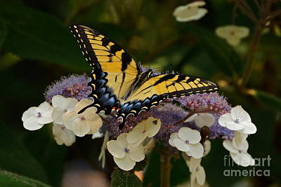 Photograph - Perfect Tiger Swallowtail Butterfly by Byron Varvarigos