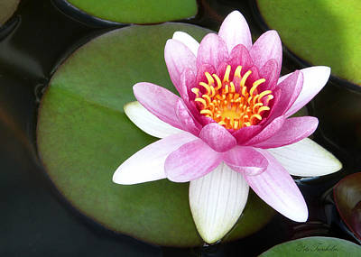Photograph - Perfect Water Lily by Pete Trenholm