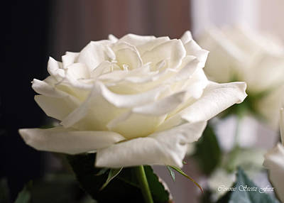 Photograph - Perfect White Rose by Connie Fox