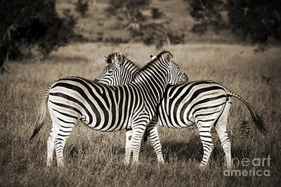 Zebra Photograph - Perfect Zebras by Delphimages Photo Creations