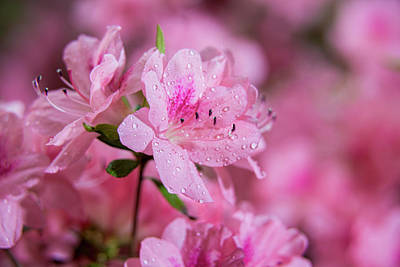 Moisture On Plants Photograph - Pericat Hybrid Azaleas  Mrs. Fisher by F. M. Kearney