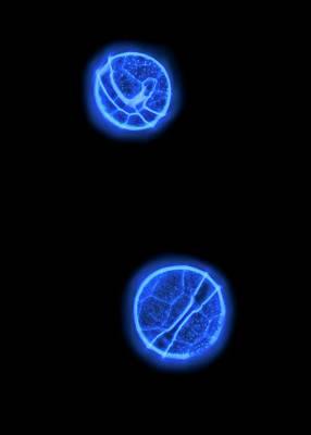 Peridinium Dinoflagellates Art Print by Gerd Guenther