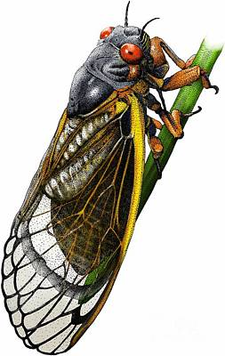 Photograph - Periodical Cicada by Roger Hall