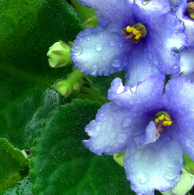 Houseplant Digital Art - Periwinkle African Violets by Nancy Mueller