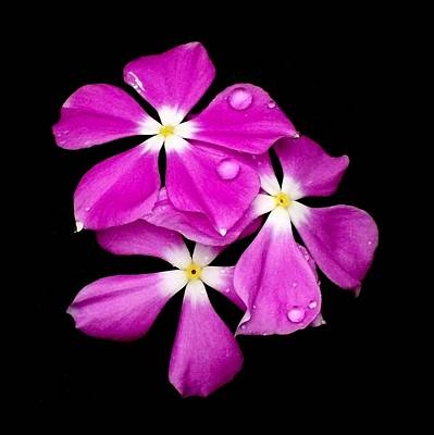 'periwinkle Flowers After Rainfall' Art Print