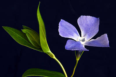 Periwinkle. Original by Terence Davis