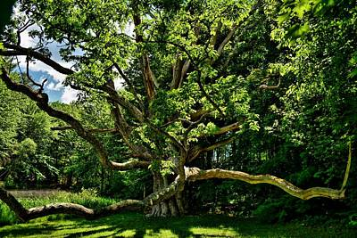 Photograph - Perley Pond 400 Year Old White Oak by Naturally NH