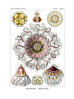 Art In Nature Drawing - Peromedusae by Ernst Haeckel