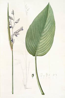 Alligator Drawing - Peronia Stricta, Thalia Dealbata Péronie,  Powdery by Artokoloro