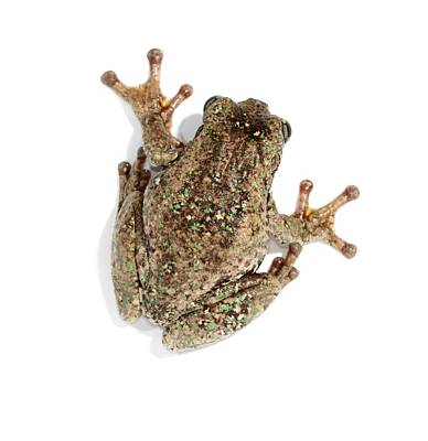 Peron's Tree Frog Print by Science Photo Library
