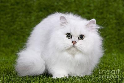Longhair Cats Photograph - Persian Chinchilla Kitten by Jean-Michel Labat