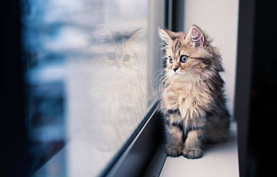 Photograph - Persian Kitten And Reflection By Window by Benjamin Torode