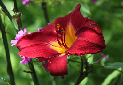 Bulb Photograph - Persian Ruby Lily - Sultry Summertime by Suzanne Gaff
