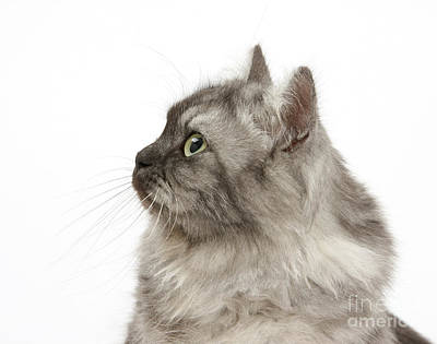 Years Old House Photograph - Persian X Birman Female Cat by Mark Taylor