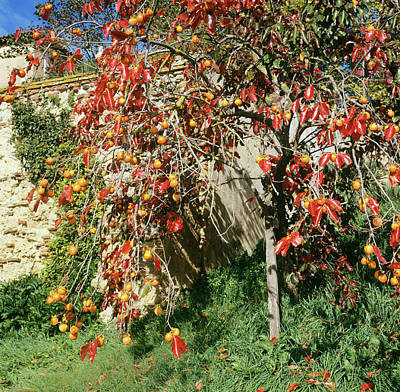 Persimmon Tree With Fruit Art Print by Mark De Fraeye/science Photo Library