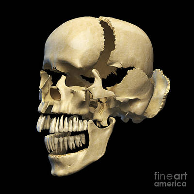 Human Skeleton Digital Art - Perspective View Of Human Skull by Leonello Calvetti