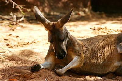 Perth Zoo Photograph - Perth - Kangaroo by Gira Desai