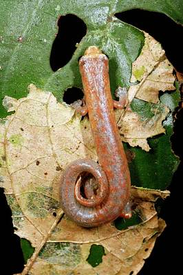 Peru Photograph - Peruvian Climbing Salamander by Dr Morley Read/science Photo Library