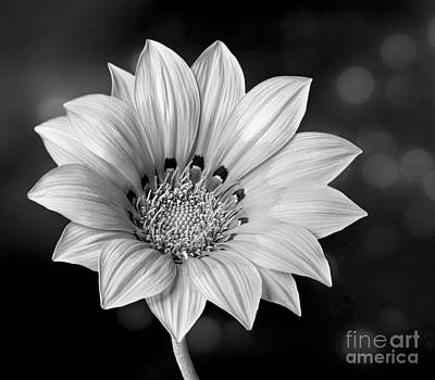 Photograph - Peruvian Daisy In Black And White by Shirley Mangini