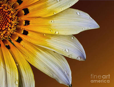 Photograph - Peruvian Daisy by Shirley Mangini