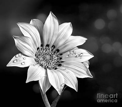 Photograph - Peruvian Daisy With Drop In Lack And White by Shirley Mangini