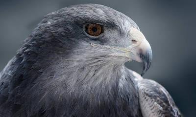 Peruvian Eagle Art Print by Walter Iglesias